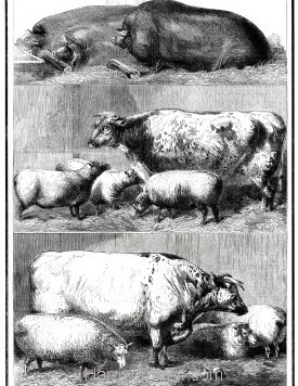 1861 Prize Cattle at the Smithfield Cattle Club Show by Harrison Weir