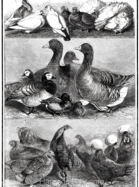 1861 Prize Poultry & Pigeons at the Birmingham Exhibition by Harrison Weir