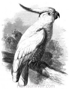 1861 Sulphur-Crested Cockatoo by Harrison Weir