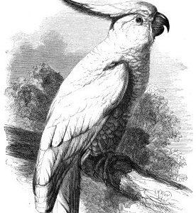 1861 Sulphur-Crested Cockatoo by Harrison Weir