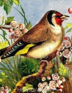 Detail: 1861 The Goldfinch, by Harrison Weir