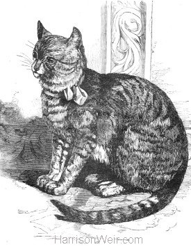 1861 The Cat by Harrison Weir