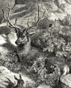 Detail: 1860 Wild Stag by Harrison Weir