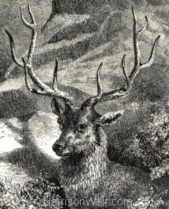 Deer & Stag