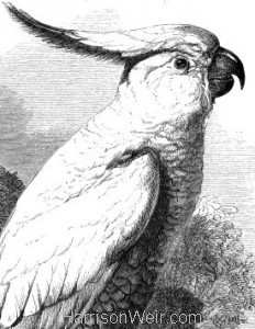 Detail: 1861 Sulphur-Crested Cockatoo by Harrison Weir