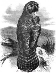 1861 Owl Parrot by Harrison Weir