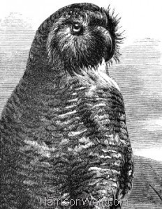 Detail: 1861 Owl Parrot by Harrison Weir