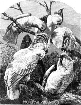 1862 Group of Cockatoos by Harrison Weir