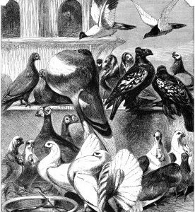 1862 Pigeons by Harrison Weir