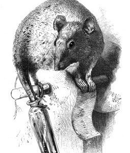 1862 The Rat and the Oil Bottle by Harrison Weir