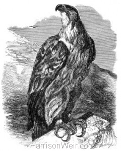 1862 Imperial Eagle by Harrison Weir