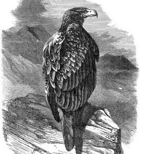 1862 Bold Eagle by Harrison Weir