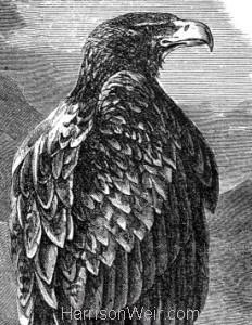 Detail: c1862 Bold Eagle by Harrison Weir