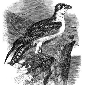 1862 Osprey by Harrison Weir