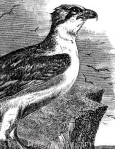 Detail: c1862 Osprey by Harrison Weir