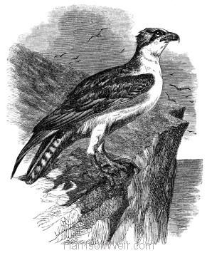 1862 Osprey by Harrison Weir