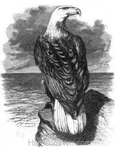 1862 Bald Eagle by Harrison Weir