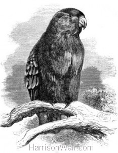 1862 Purple-Capped Lory by Harrison Weir