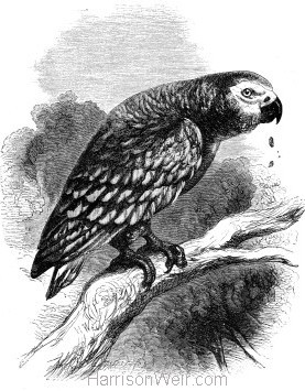 1862 Grey Parrot by Harrison Weir
