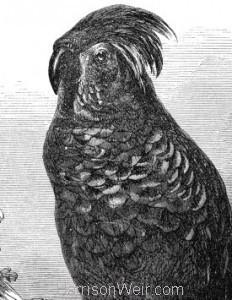 Detail: c1862 Goliath Aratoo by Harrison Weir