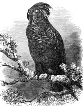1862 Goliath Aratoo by Harrison Weir