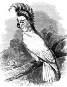 1862 Leadbeaters Cockatoo by Harrison Weir