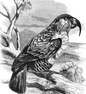 1862 Philip Island Parrot by Harrison Weir
