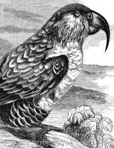 Detail: c1862 Philip Island Parrot by Harrison Weir
