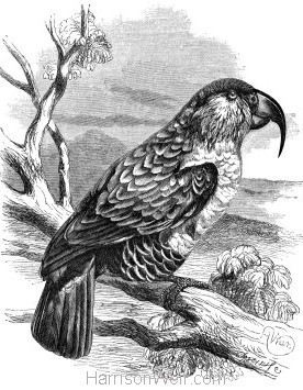 1862 Philip Island Parrot by Harrison Weir
