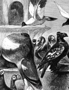 Detail: 1862 Pigeons, from Woods Natural History of Birds, by Harrison Weir
