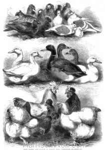 1864 - Prize Pigeons & Poultry at Bingley Hall, Birmingham