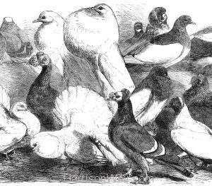 1864 Prize Pigeons at the Philo-Peristeron Society, Harrison Weir