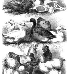 1864 Prize Pigeons & Poultry, Bingley Hall, Birmingham. By Harrison Weir