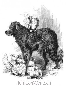 1864 Sambo and his Feathered Friends, by Harrison Weir
