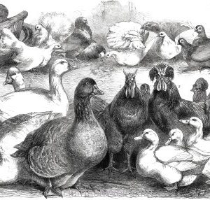 1865 Prize Birds at the Birmingham Poultry Show by Harrison Weir