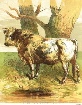 1866 An Angry Bull by Harrison Weir