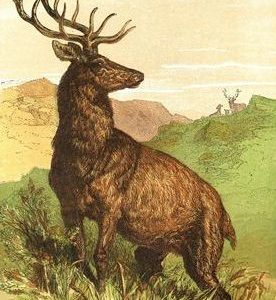 1866 Captain Stag by Harrison Weir