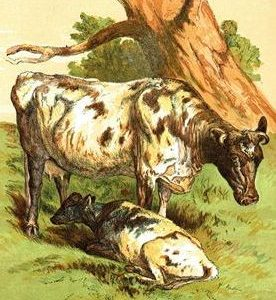 1866 Cow and Calf by Harrison Weir