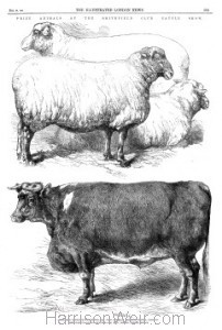 Full Page: Prize Animals at the Smithfield Club Cattle Show. (Pg 593. The Illustrated London News).