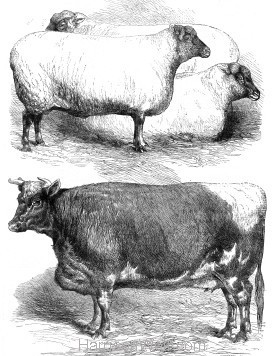 1866 Prize Animals at the Smithfield Cattle Show (592) by Harrison Weir