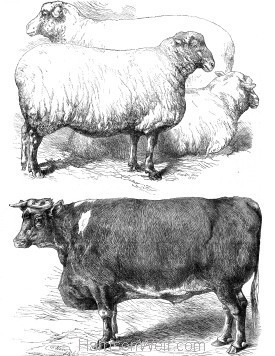 1866 Prize Animals at the Smithfield Cattle Shoow (593) by Harrison Weir