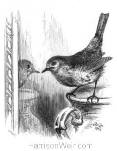 1866 Robin and Looking-Glass, by Harrison Weir