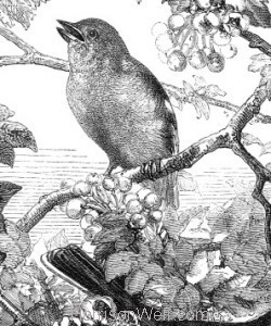 Detail: 1866 - The Chaffinches' Nest by Harrison Weir