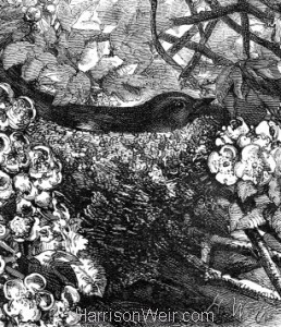 Detail: 1866 The Chaffinches' Nest by Harrison Weir
