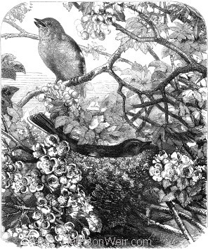 1866 The Chaffinches' Nest by Harrison Weir