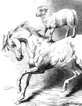 "1867 ""Mad Arabian"" and Lamb, by Harrison Weir"