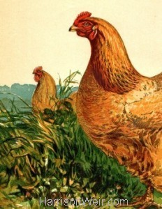 1867 - Buff Cochin Hen by Harrison Weir