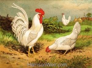 Full Size Image: White Leghorns, by Harrison Weir