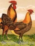 Poultry Print Landscape Format