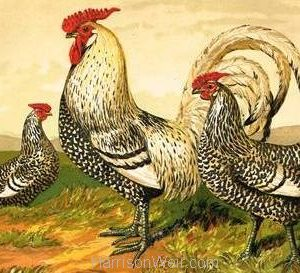 1867 Silver Spangled Hamburghs by Harrison Weir